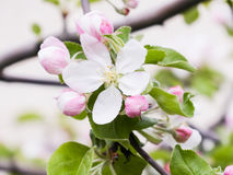 Pink flowers and buds of an Apple tree. Flowering gardens in may Royalty Free Stock Image