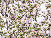 Pink flowers and buds of an Apple tree. Flowering gardens in may Royalty Free Stock Photo