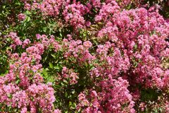 Pink flowers bush background in a sunny summer day Stock Photos