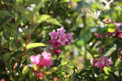 Pink flowers bush flowering summer stock photo image of flowers pink flowers bush flowering summer royalty free stock photo mightylinksfo