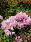 Pink flowers at Butchart gardens royalty free stock images