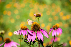 Pink flowers with a butterfly. Stock Photos