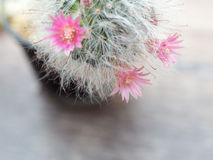 Pink flowers from cactus that have white hair like the hair of cat. Scientific Name is Mammillaria bocasana. Enter the text Stock Photography
