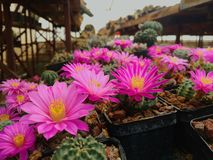 Pink Flowers of cactus Royalty Free Stock Image