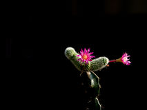 Pink flowers of cactus. Royalty Free Stock Image