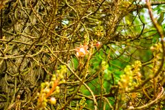 Pink flowers of caesalpinia on a branch. stock photo