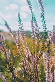 Pink flowers of calluna vulgaris in a field. At sunset Royalty Free Stock Photo