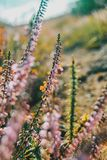 Pink flowers of calluna vulgaris in a field. At sunset Stock Images