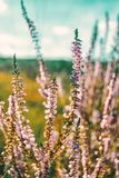 Pink flowers of calluna vulgaris in a field. At sunset Stock Photography