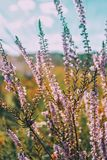 Pink flowers of calluna vulgaris in a field. At sunset Stock Photo