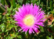 Pink flowers (Carpobrotus) closeup. Royalty Free Stock Photo