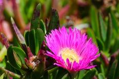 Pink flowers (Carpobrotus) closeup. Stock Photography