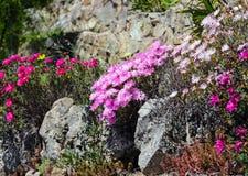 Pink flowers (Carpobrotus) closeup. Royalty Free Stock Images
