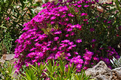 Pink flowers (Carpobrotus) closeup. Royalty Free Stock Photography