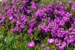 Pink flowers (Carpobrotus) closeup. Royalty Free Stock Image