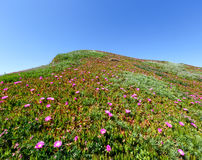 Pink flowers (Carpobrotus) on hillside. Stock Photography