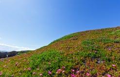 Pink flowers (Carpobrotus) on hillside. Royalty Free Stock Photography