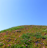 Pink flowers (Carpobrotus) on hillside. Stock Images