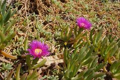 Pink flowers of Carpobrotus modestus royalty free stock images