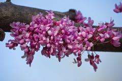Pink flowers of Cercis. Closeup on sky background. Judas tree Royalty Free Stock Image