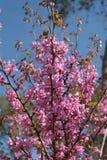 Pink Flowers of Cercis Siliquastrum Tree. Cercis Siliquastrum pink flowers tree in a forest on the season of spring Royalty Free Stock Photo