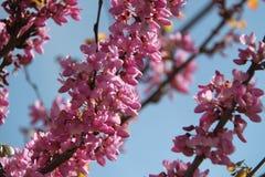 Pink Flowers of Cercis Siliquastrum Tree. Cercis Siliquastrum pink flowers tree in a forest on the season of spring Stock Photos