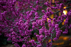 Pink flowers of cercis at sunset Stock Image