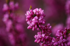 Pink flowers of cercis at sunset Royalty Free Stock Photography