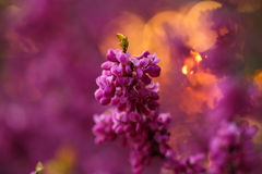 Pink flowers of cercis at sunset Stock Photography