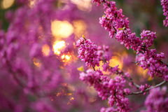 Pink flowers of cercis at sunset Royalty Free Stock Photos