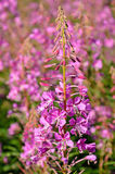 Pink flowers Chamerion angustifolium. The pink flowers Chamerion angustifolium royalty free stock photos