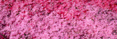 Pink Flowers, Channel Islands, California Stock Images