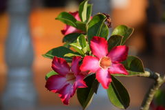 Pink flowers - chennai. Bloom flowers grown in large pots. Patch of the house Stock Photo