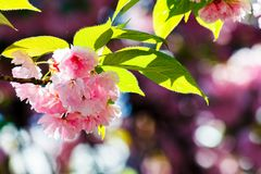 Pink flowers of cherry blossom among the branches. Lovely springtime background Stock Photography