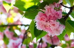 Pink flowers of cherry blossom among the branches. Lovely springtime background Royalty Free Stock Photography