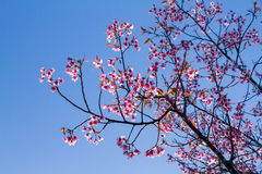 Pink flowers cherry blossom or sakura flower with with blue sky Stock Photos