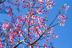 Pink flowers cherry blossom or sakura flower with with blue sky Royalty Free Stock Photography