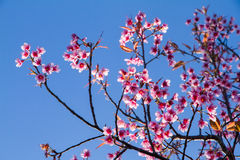Pink flowers cherry blossom or sakura flower with with blue sky Stock Images