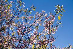 Pink flowers cherry blossom or sakura flower with with blue sky Royalty Free Stock Photos