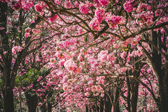 Pink flowers or cherry blossom and tree Stock Images