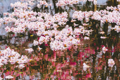 Pink flowers or cherry blossom and tree. In springtime royalty free stock photo