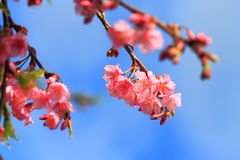 Pink flowers cherry blossom Stock Photos