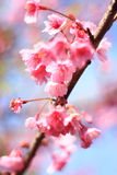 Pink flowers cherry blossom Stock Photography
