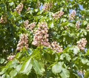 Pink flowers of chestnut tree Royalty Free Stock Images