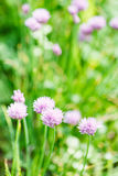 Pink flowers of chives herb on green summer lawn Stock Photo