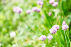 Pink flowers of chives herb on green summer meadow Stock Photo