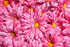 Pink flowers chrysanthemums background Stock Images