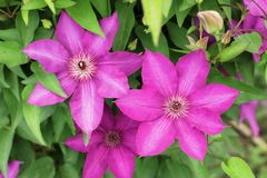 Pink flowers of clematis on the background of green foliage. Flower royalty free stock photography