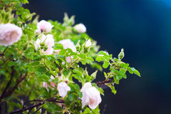Pink flowers of climbing roses Stock Image