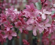 Pink flowers close-up apple tree blossom. Tree apple blossom pink flowers close-up garden summer outdoors nature Royalty Free Stock Photos